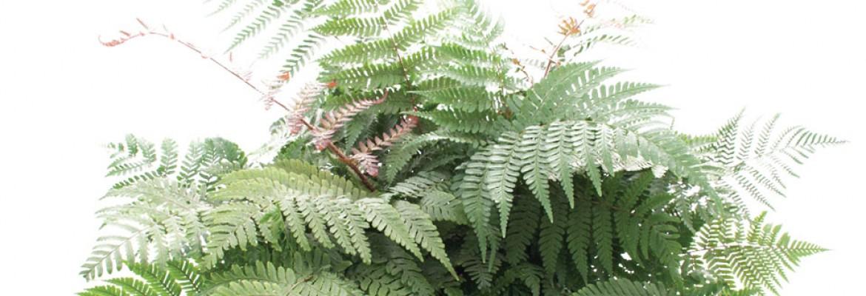 New fern varieties