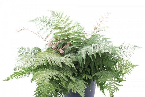 New fern varieties