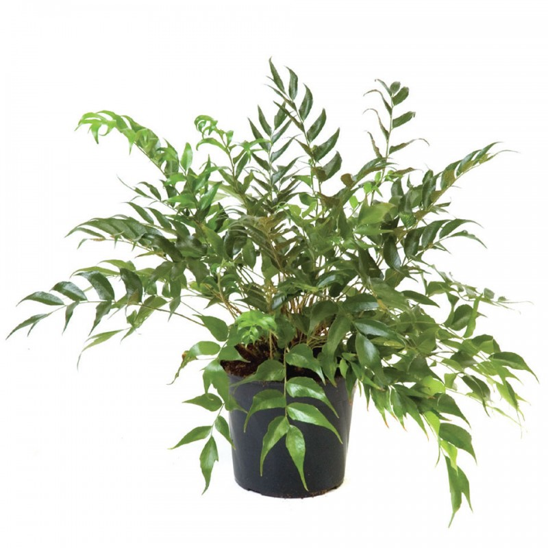 "Picture of Live Japanese Holy Fern aka Cyrtomium falcatum Plant Fit 4"" Pot"