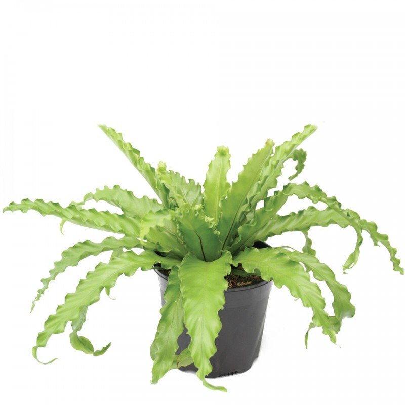 JAPANESE BIRD'S-NEST FERN - Asplenium Antiquum Victoria Ruffled Birds Nest Fern